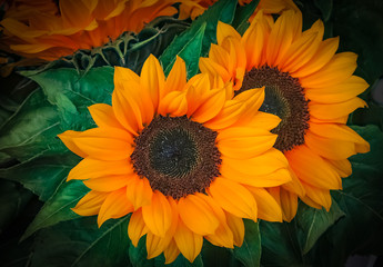 Sunflowers in close up