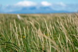 Abstract selective focus photo of grasses and reeds on Katmai National Park in Alaska. Useful for backgrounds - 230500574