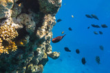 Coral reef of Red Sea with tropical fishes, Egypt - 230506509