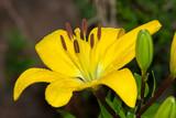 lys jaune dans un jardin