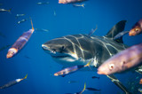 Great White Shark - 230524112