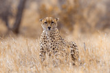 Cheetah in Kruger National park, South Africa ; Specie Acinonyx jubatus family of Felidae - 230533717