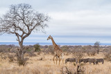 Giraffe in Kruger National park, South Africa - 230536382