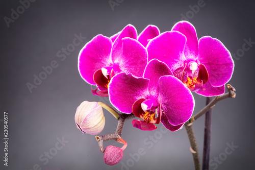 Purpurowe orchidee