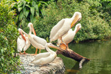 White large pelicans resting on the shore of lake - 230549911