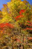 Autumn Leaves of Narukokyou - 230556985