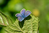 Blue wing butterfly on a green leaf