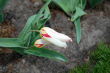 Tulips 'The First' (Tulip) Kaufmanniana Group grown in the park.  Spring time in Netherlands.