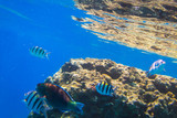 Red Sea underwater scenery with tropical fishes, Egypt - 230576964