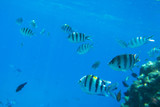 Red Sea underwater scenery with tropical fishes, Egypt - 230576984