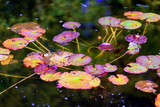 Picturesque leaves of water lilies on the water in a pond, autumn season - 230592940