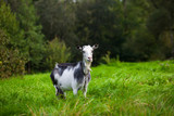 Portrait of black and white adult goat grazing on green summer meadow field at village countryside - 230616734