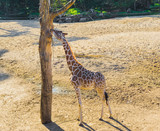 savanna animal portrait of a giraffe reaching and eating from a branch in a tree