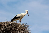 Stork standing on edge of nest overlooking surroundings with clear blue sky in background on warm summer day