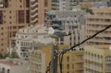 Gaviota urbana