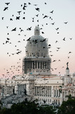 Hundreds of birds wake up in the central park and fly towards the neighboring buildings of havana capitol