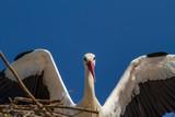 Storch landet im Nest