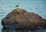 Seagull, sea, sky, water, black sea, summer, beach, bird, stone, sea salt, a lot of water, nature, sunset, fisher, sea predator, vulture, vacation, hunting, food search