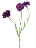 dark purple cornflower with three blooms on white