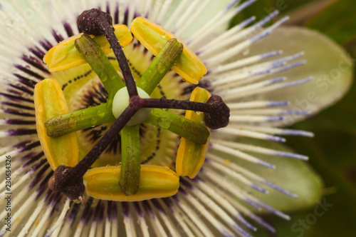 Passiflora incarnata okwitnięcie kwiat