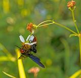 bee seeking nectar on a flower - 230637940