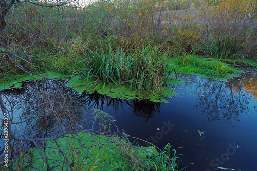 Beautiful forest landscape with marsh, overgrown with reeds and duckweed