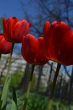 red tulips on background of blue sky