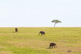 Elephants walking on the savannah in Africa