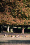 Group of deer lying in meadow of autumn forest. - 230666301