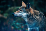 Eurasian wolf in forest. Side view. - 230666314
