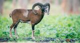 Mouflon ram on hillside in forest. - 230666316