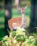 Female fallow deer behind ferns in autumn forest. - 230666317
