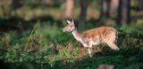 Deer standing between ferns in forest. - 230666319