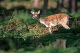 Deer standing between ferns in forest. - 230666320
