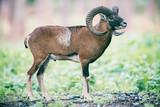 Mouflon ram on hillside in forest. - 230666321