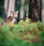 Female fallow deer behind ferns in autumn forest. - 230666323