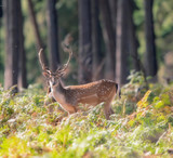 Fallow deer stag between ferns in fall forest. - 230666340