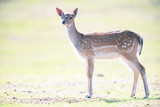 Young fallow deer in sunny meadow. - 230666344