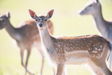 Fallow deer young in sunny meadow. - 230666348