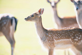 Fallow deer young in sunny meadow. - 230666349