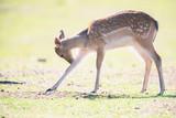Young fallow deer in meadow licking leg. - 230666350
