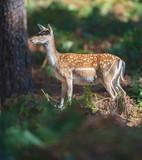 Fallow deer female in forest. - 230666356