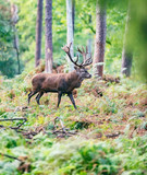 Red deer stag in autumn forest. - 230666361