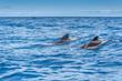 Couple de baleines pilotes nageant dans l'océan