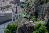Cigüeñas en su hábitat natural