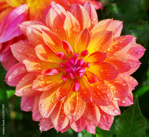 Dahlia flower closeup. Colorful dahlia flower with water drops. - 230674911