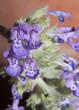 Leinwanddruck Bild - Katzenminze
