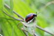 Leinwandbild Motiv insetto maculato