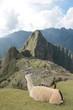 Lama schaut hinab auf Machu Picchu