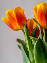 Tulip blooming in spring